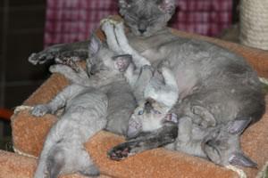 Eine Devon Rex Katze mit ihren Kitten.