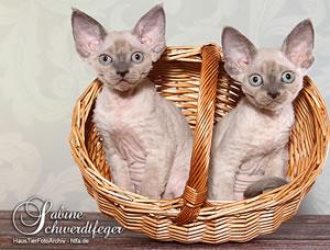 Zwei Devon Rex Katzen in einem Korb.