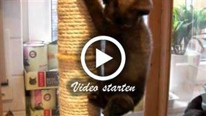 Drei 11 Wochen alte Devon Rex Katzenbabies