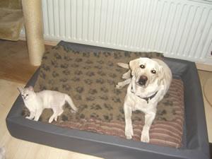 Burmilla Emma mit Hund