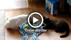 Zwei German Rex Katzen beim spielen