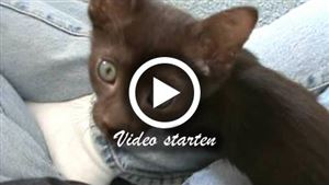 Havana Kitten