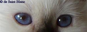 Heilige Birma Katze