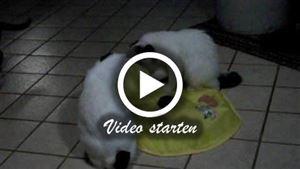 Eine Japanese BobtailShorthair und eine Longhair Katze