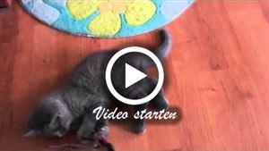 Kartäuser (Chartreux) Katze
