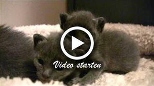 17 Tage junge Korat Kitten