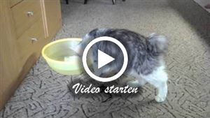 Kurilen Bobtail Katze trinkt