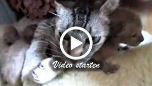 LaPerm Katze mit ihren Kitten