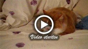 """Eine Manx Katze die auf dem Bett """"gräbt"""""""