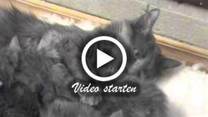 Nebelung Katze mit Kitten