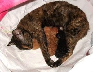 Ural Rex Kitten mit ihrer Mutter