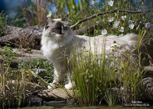 Neva Masquarade Katze der Arctic Shadows Zucht. Fotograf: Ralph benz