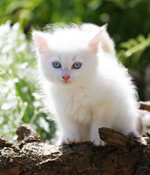 Neva Masquarade Kitten Valentin