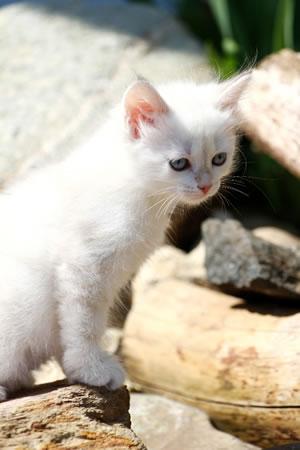 Neva Masquarade Kitten Wish