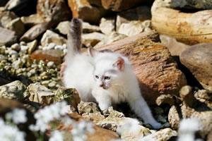Neva Masquarade Kitten Wizard