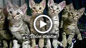 Acht Ocicat Kitten