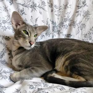 Orientalisch Kurzhaar Katze Aphachi der Cattery Lexacats