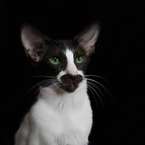 Die Orientalische Kurzhaar Katze Emiliana
