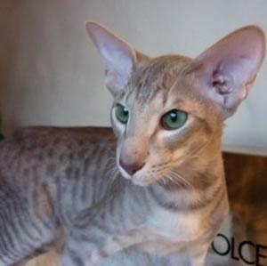 Orientalische Kurzhaar Katze der Cattery Lexacats