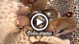Eine orientalische Kurzhaarkatze mit ihren Kitten