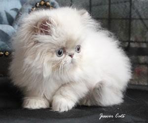 Perserkatze von Jesscor Cats