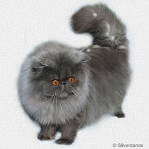 Perser Katze