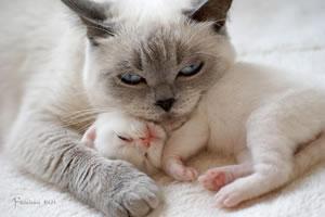 Britisch Kurzhaar Kitten Faris mit Mama Emma