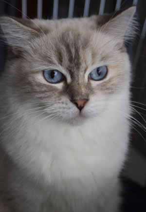 Ragdoll Katze Ann-Julie in blue tabby point