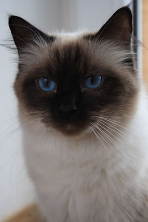 Ragdoll Katze Elajsa in seal colourpoint