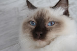 Ragdoll Zuchtkater in Chocolate colourpoint