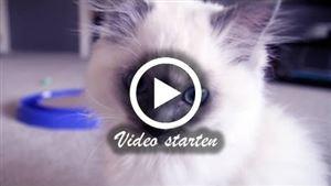 Ein Ragdoll Kitten