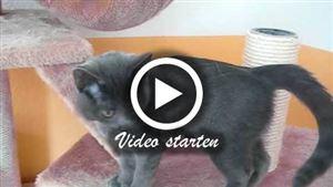 Eine 12 Wochen alte Russisch Blau Katze