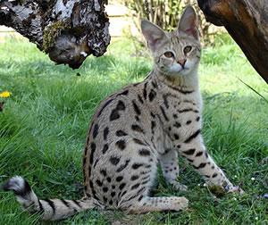 Ein Savannah Jungtier