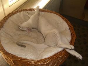 Burmilla Katze beim Schlafen.