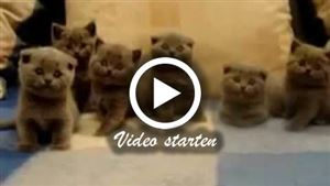 Sechs kleine Scottish Fold Kitten