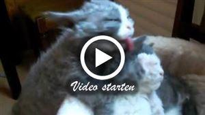 Ein Selkirk Rex Kitten putzt ein anderes Selkirk Rex Kitten