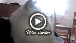 Zwei Siamkatzen spielen auf dem bett mit der Kamera
