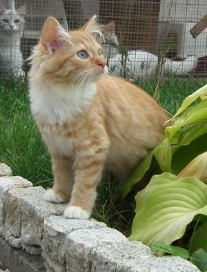 Sibirische Katze Cheyenne