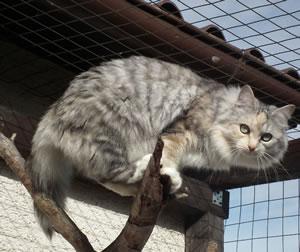 Sibirische Katze Lathinia