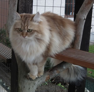 Sibirische Katze Olympia