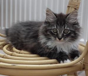 Sibirische Katze Zeus