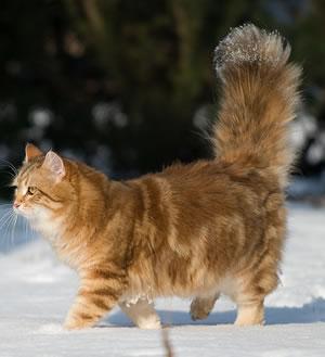 Sibirische Katze im Schnee