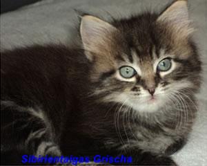 Sibirische Katze Grischa