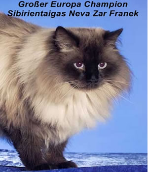 Neva Zar Franek der Sibirientaigas Zucht.