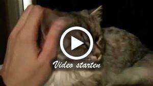 Zwei Sibirische Katzen
