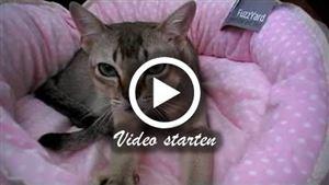 Eine Singapura Katze beim treteln