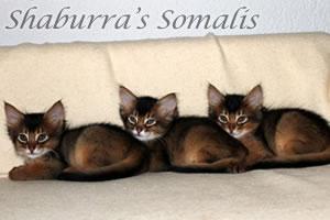 Somalikitten vom A-Wurf