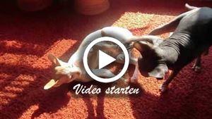 Sphinx Katzen beim spielen