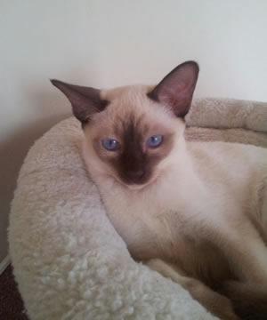 Eine Thaikatze von den Passoa-Cats.