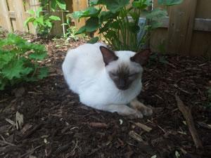 Eine Thaikatze im Garten.